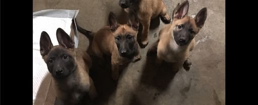 Litter of 2 Belgian Malinois puppies for sale in MANTECA, CA. ADN-22592 on PuppyFinder.com Gender: Male(s) and Female(s). Age: 14 Weeks Old