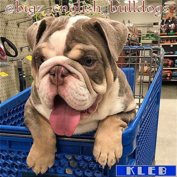 #allenglishbulldogs #theenglishbulldogs #pinterest #family #englishbulldogs #englishbulldogsofig #englishbulldogsof https://t.co/s7pDW4lq9C