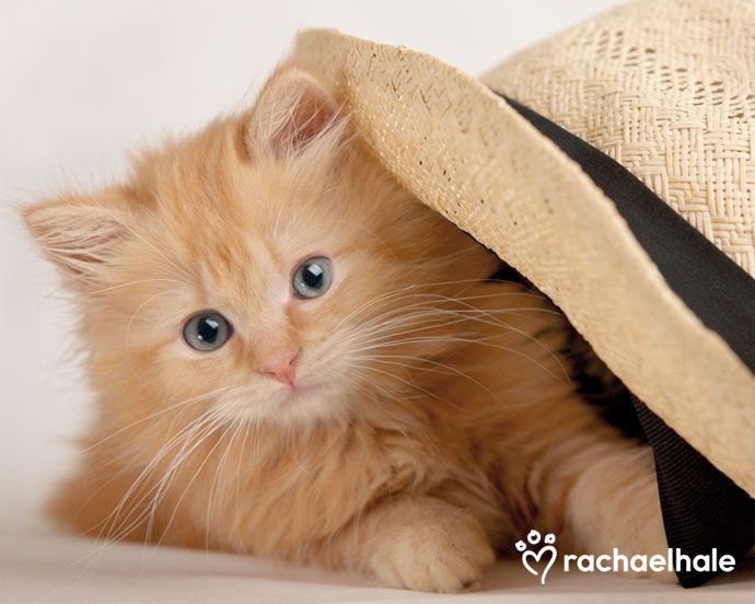 Scarlet (Ragdoll x Birman) - If the hat fits wear it!  (pic by Rachael Hale)
