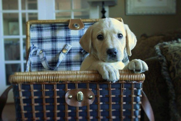 They have the CUTEST paws. | 27 Reasons Labradors Are The Best Creatures In The Galaxy