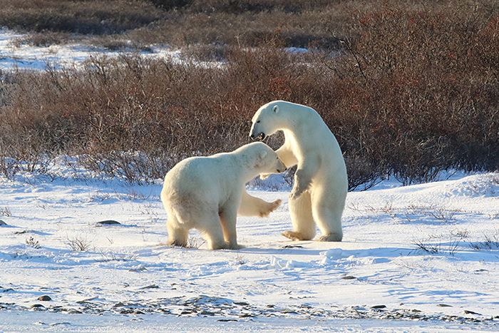 polar-bear-greetings-3