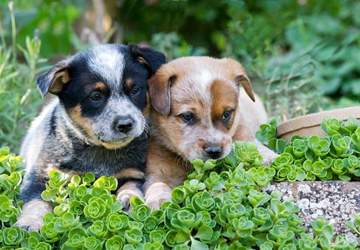 Australian Cattle Dog Puppies For Sale Akc Puppyfinder Dogs And