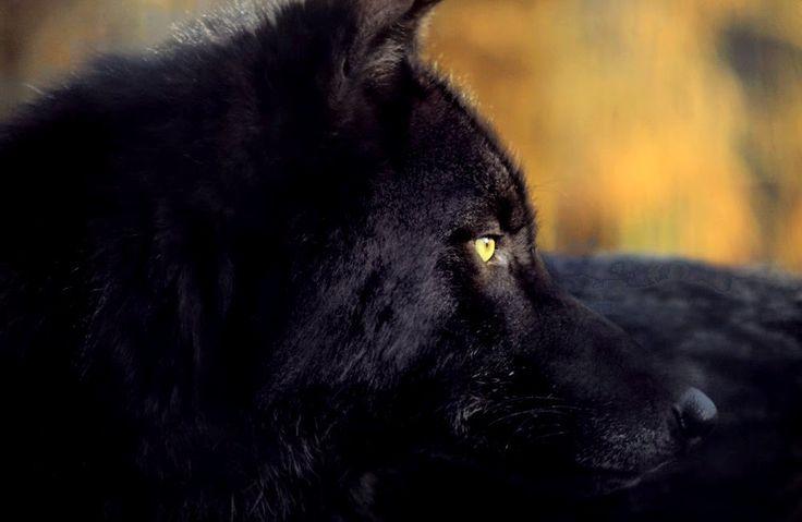 смотреть фотографии черного волка смог