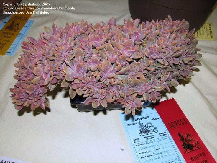 Graptoveria 'Douglas Huth' crested form