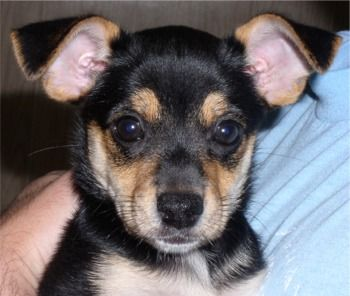 Toy Manchester Terrier Puppies Breeders Manchester Terriers