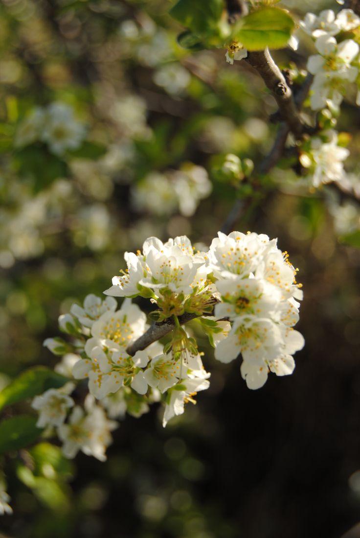 Spring blossoming. Photo by Judith Ann. www.beautifulwriting.com.au