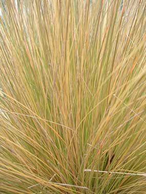 Chionochloa rubra. native new zealand red tussock grass.