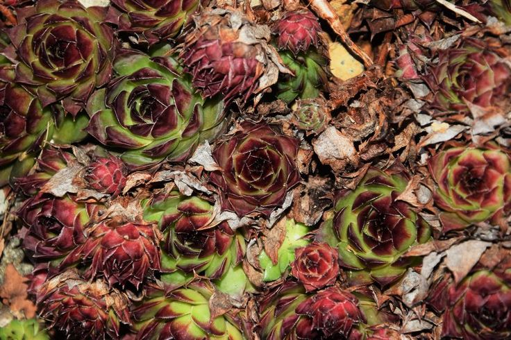 Beauty In Nature Flower Flower Head Green Color Growth Nature Succulents Sukkulent