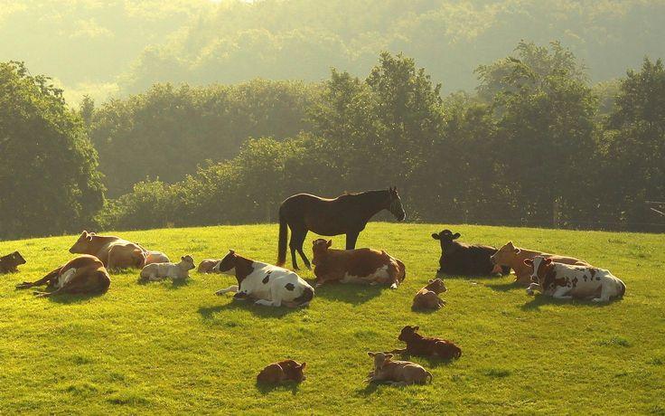 herd cows - Поиск в Google