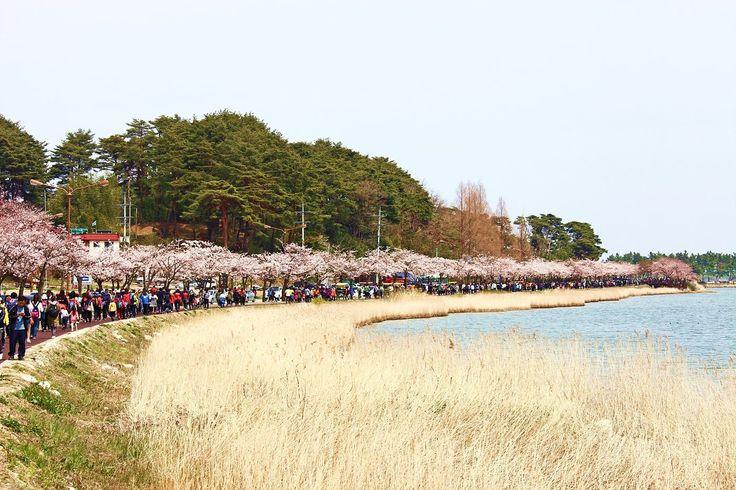 2015년 강릉 경포벚꽃잔치