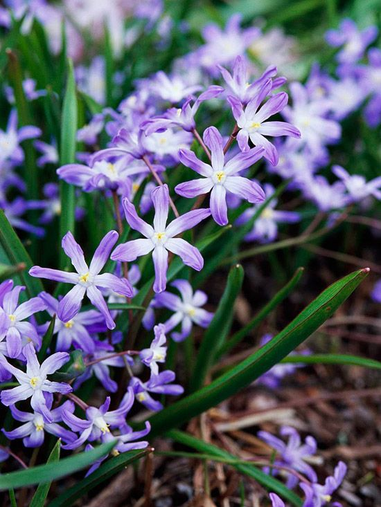 Glory-of-the-Snow  Enjoy a multitude of blue, pink, or white star-shape flowers from glory-of-the-snow. This charming bulb earned its name because of how early it blooms in the season.
