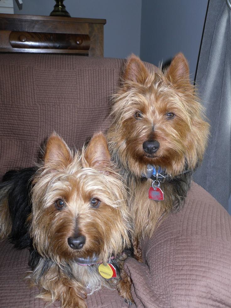 austrailian terriers