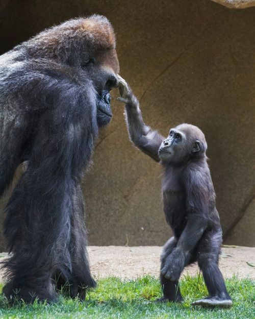 """Gorilla Mind-Meld (photo by Tyler Green) Fun fact: The word """"gorilla"""" is from a Greek word meaning """"tribe of hairy women."""""""