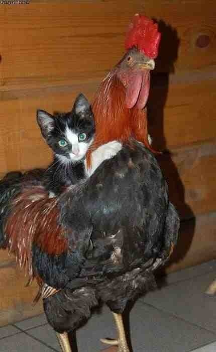 Free Rooster Rides!!!: Chicken, Cats, Animals, Kitten, Pet, Roosters, Funny, Photo, Friend