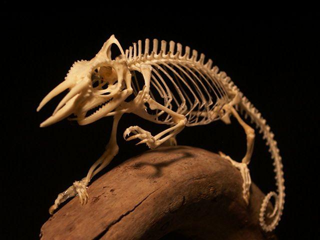 chameleon skeleton