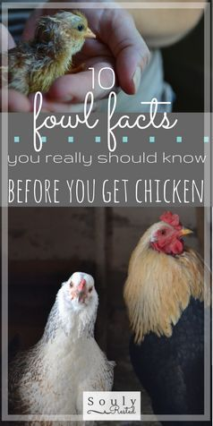 What you need to know about chicken before you take the poultry plunge   dogs with chicken   having dogs and free ranging chicken   why free range   feeding scraps to chicken   no need to refrigerate fresh eggs   keeping eggs on the counter   feeding egg shells to chicken   cheese souffle recipe