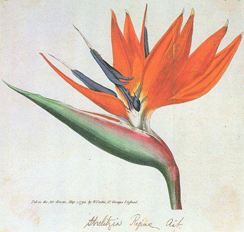 Picturing Plants and Flowers: Sydenham Edwards: Strelitzia reginae