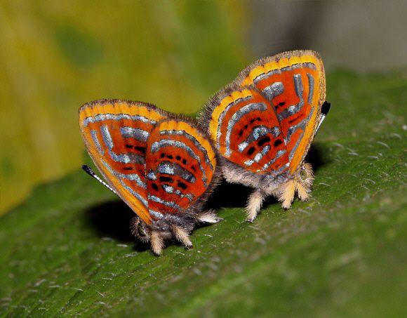 Rare Butterfly Species | Sarota gyas , Satipo, Peru © Adrian Hoskins