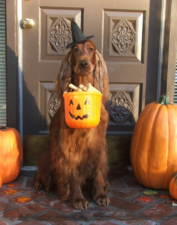 """Irish Setter. C McGarry. Moxie"""" -- I still miss her so! She adored the Trick or Treaters!"""