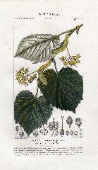 Galleria Garisenda di Emanuela CTiglio 1847 - avalleri - Catalogo stampe - botanica - alberi