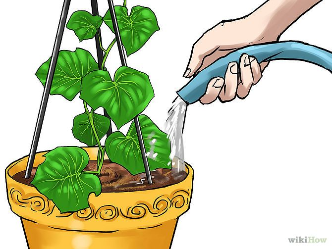 How to Grow Cucumbers in Pots