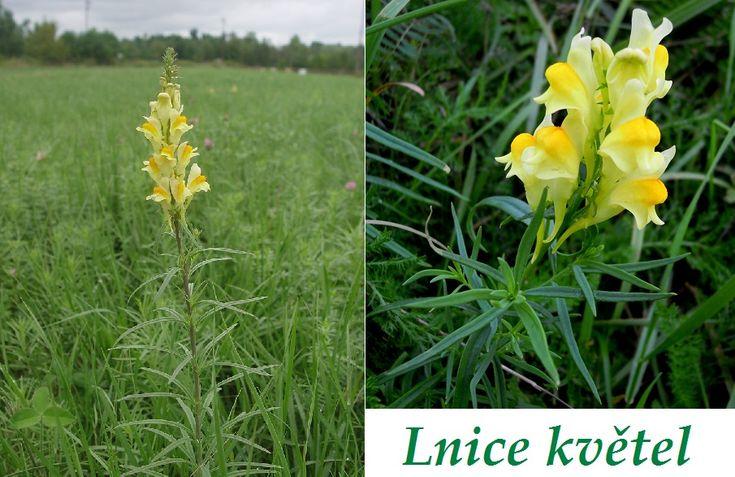 Linaria-вульгарные-на-эффектов-здоровье-то, что-Leci потребительной применения продукции Повторное использование