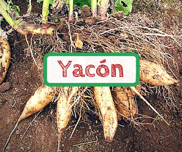 Wir erklären, warum Yacon Sirup gesund ist. In der Knolle steckt viel Gutes. Yacon lässt sich vielseitig in eure Nahrung integrieren.