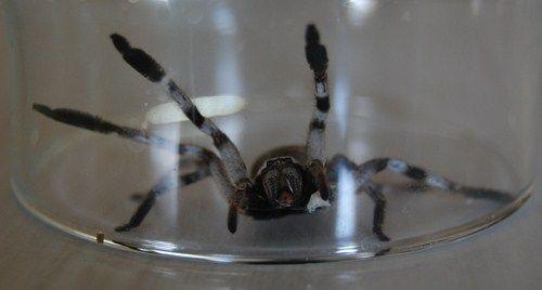 Une araignée que l'on voit couramment en Australie, la huntsman, n'est pas dangereuse pour l'homme (j'ai vu un australien en prendre une dans sa main). Dans le doute ne déconnez pas avec les araignées.