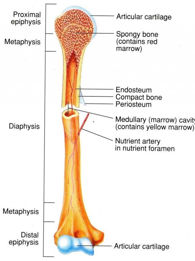 Estructura externa e interna de un hueso largo. Diáfisis hecha de tejido compacto y hueca. Epífisis hechas de tejido esponjoso. Fuente: Anatomy library US