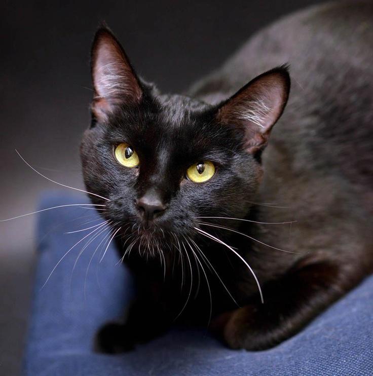 33 best Black Cats images on Pinterest | Black cats, Black ...