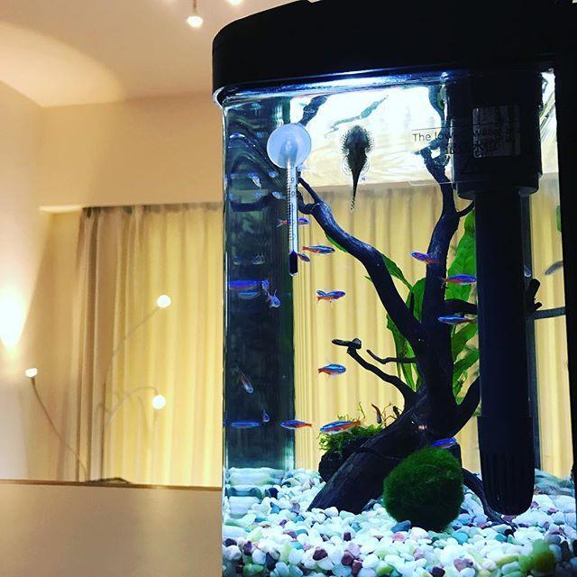 【tsutsuchi7440】さんのInstagramをピンしています。 《リビングアクセント🐟🐟🐟#aqarium #アクアリウム #リビング水槽 #カージナルテトラ #水草 #まりも #内装リフォーム #住宅販売 #釣りしたい #魚食べたい》