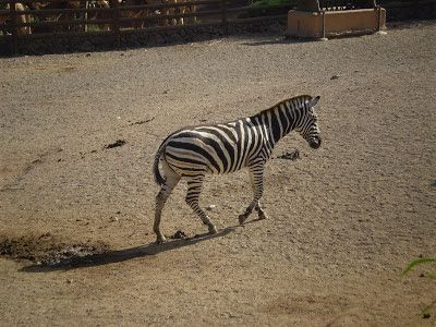 Joel kontinen: Intelligently Designed Zebra Tail Is An Amazingly ...