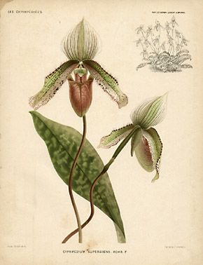Botanical Drawings | ... Botanical Prints - 8 Ladies Slipper Orchid (Cypripedium) Botanical