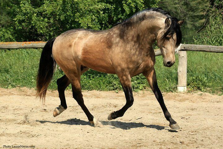 Smutty Dappled Buckskin Pryor Mountain Mustang.