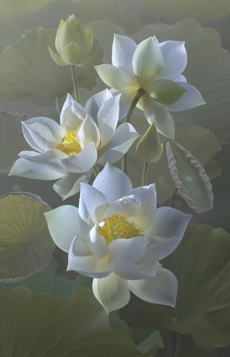 50 best white lotus images on pinterest lotus flowers beautiful lotus dqd izmirmasajfo
