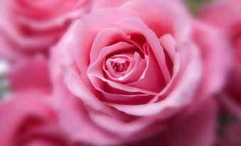 Talones secos: hidrátalos con agua de rosas - Trucos de belleza caseros