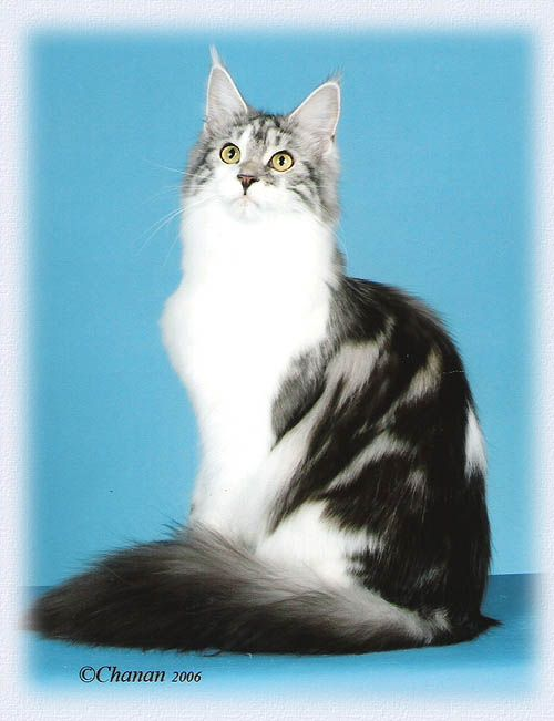 Maine Coon, Bicolour, Black Silver Blotched & White. Chamberlain If You Are Mine