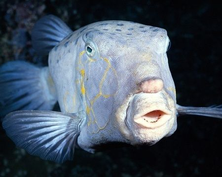 14 best images about nose goes on pinterest toy dogs for Big nose fish