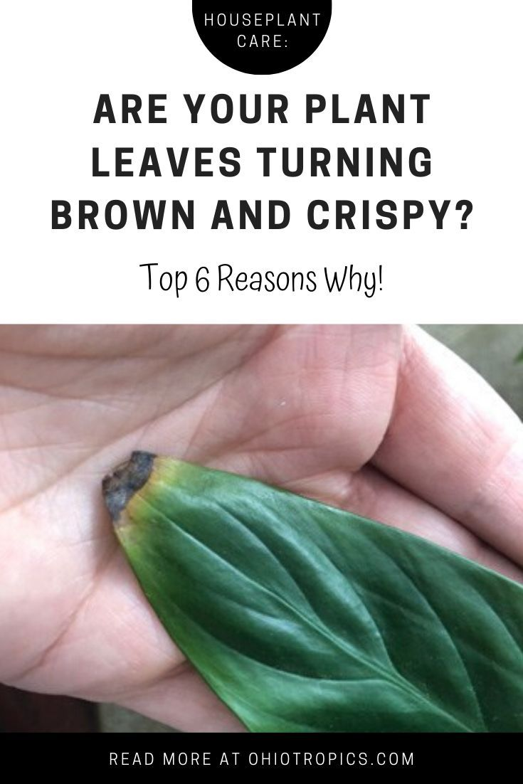Are Your Plant Leaves Turning Brown And Crispy Plant Leaves Turning Brown Plant Leaves Turning Plant Leaves