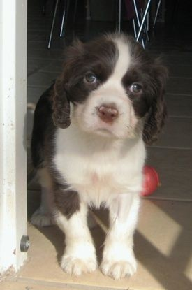 English Springer Spaniel Information and Pictures