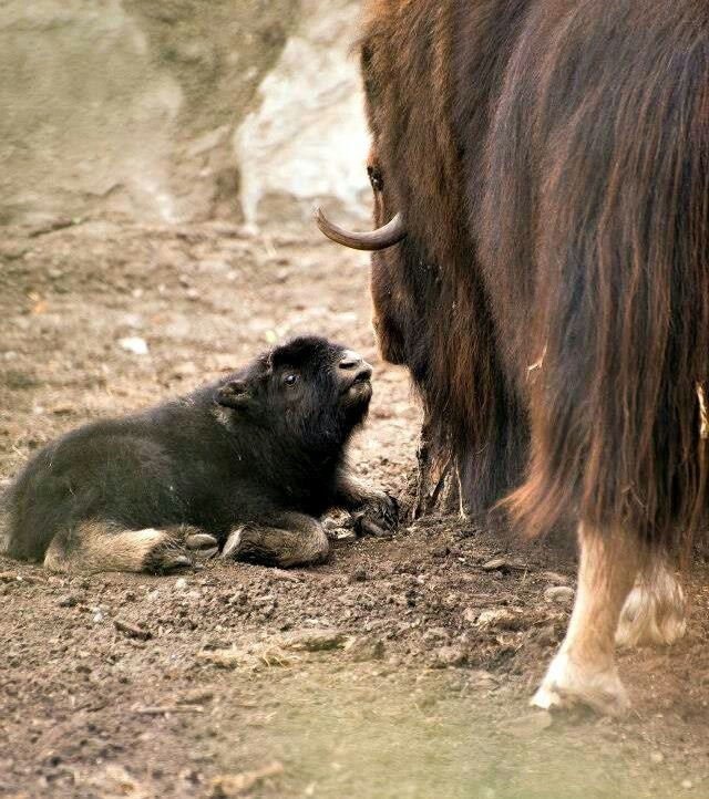 musk ox calf with Mother at the Calgary Zoo