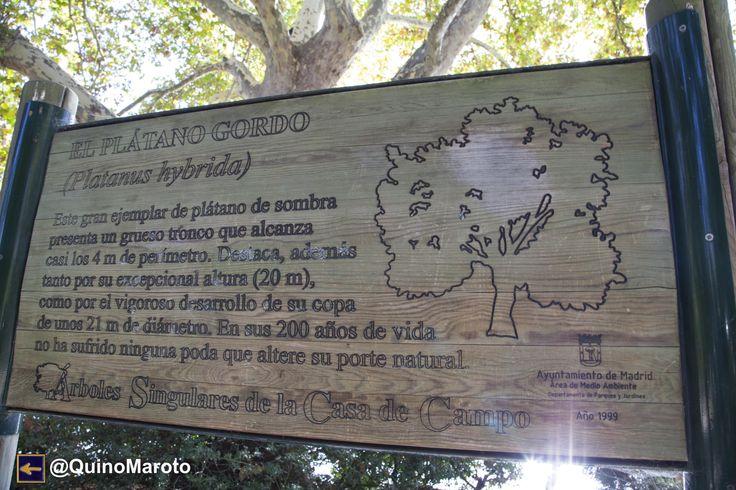 PLÁTANO GORDO Árboles Singulares de la Casa de Campo de Madrid.
