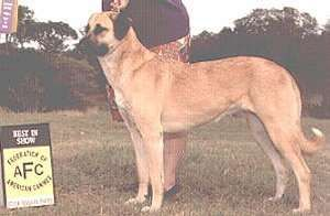 The Anatolian Shepherd is a flock guardian with a superior sense of sight and hearing. It is not a herding dog. It is very loyal, alert and capable of great speed and endurance. It is intelligent, alert and easy to train, but is not a dog for beginners.