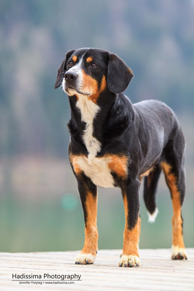Entlebucher Mountain Dog --- Entlebucher --- Mass: 56 – 66 lbs (Adult); Height: 19 – 20 in.; Life span: 11 to 15 years; Temperament: Devoted, Agile, Loyal, Self-confidence, Intelligent, Independent