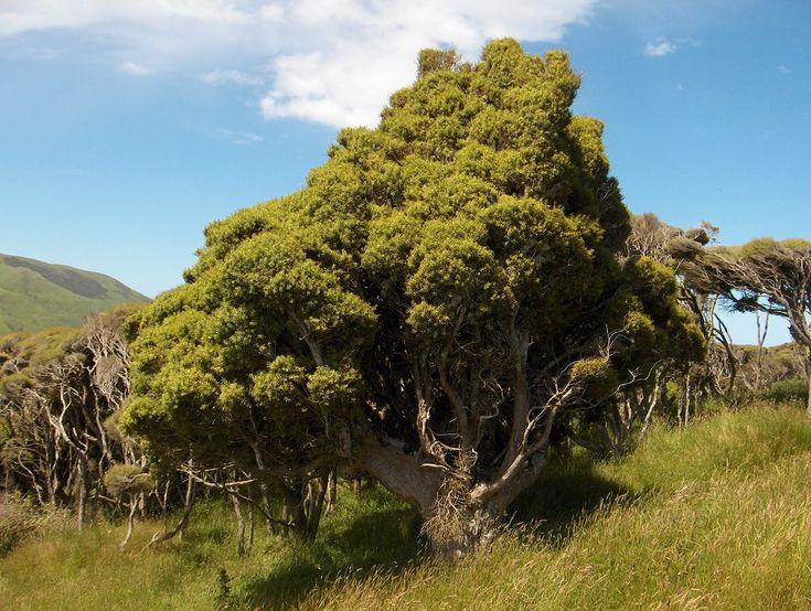 Podocarpus totara - totara tree photos