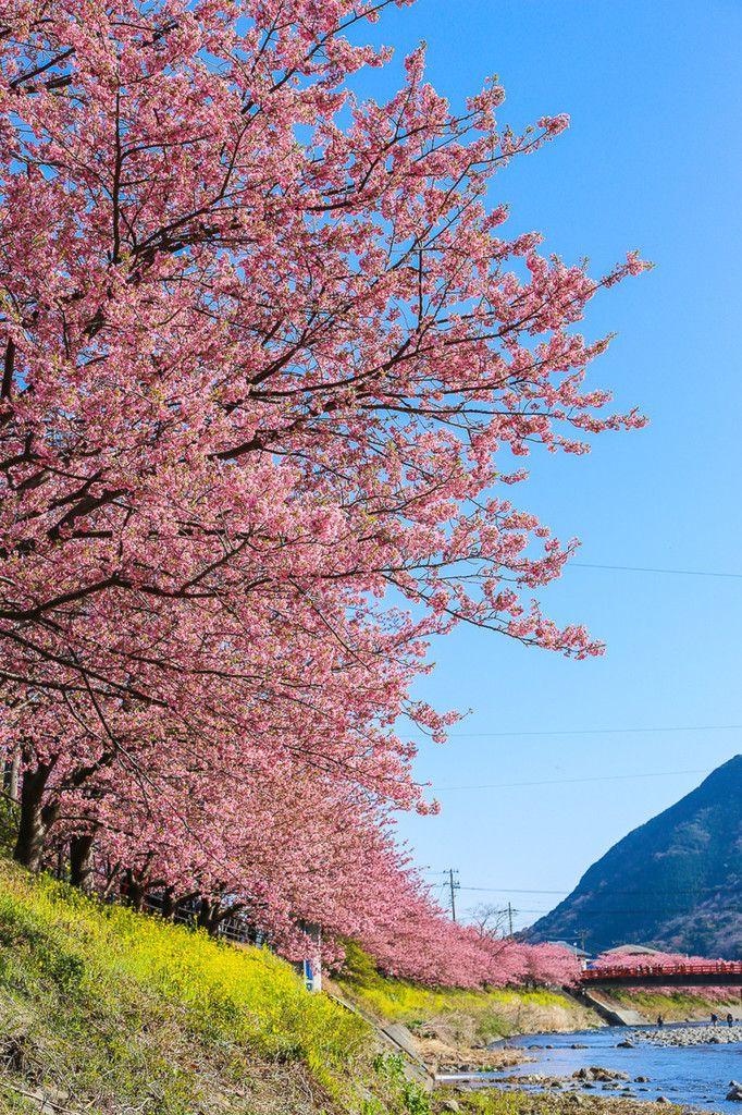 「河津桜まつり」静岡県の伊豆半島で本日より開催! | PASHADELIC