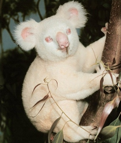 albinos koala