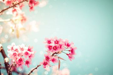 Close-up of beautiful vintage sakura tree flower (cherry blossom) in spring. vintage color tone style.