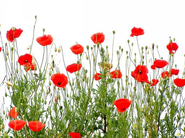Poppies by mikekorn
