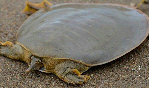 Мягкотелая черепаха . Среда оюитания - Азия, Африка и Северная Америка.